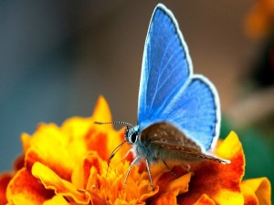 Mariposa azul sobre una flor naranja