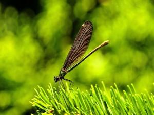 Libélula sobre una rama de pino