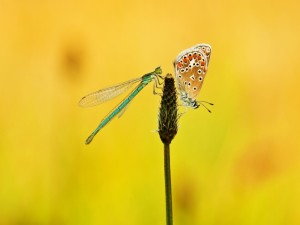 Libélula y mariposa sobre la misma espiga