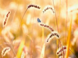 Una mariposa entre las espigas