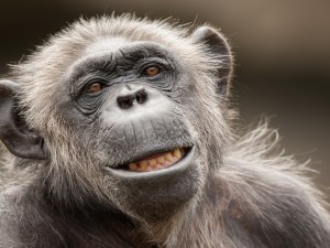 Cara de un chimpancé