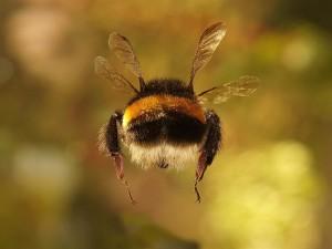 Un abejorro volando