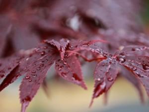 Gotas de agua en unas hojas de arce después de la lluvia