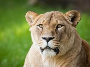 Cara de una leona