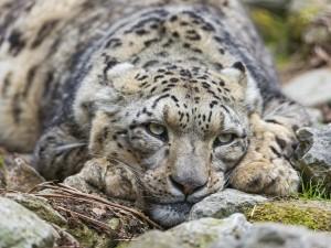 Leopardo de las nieves recostado sobre una rocas