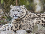 Un leopardo de las nieves muy atento