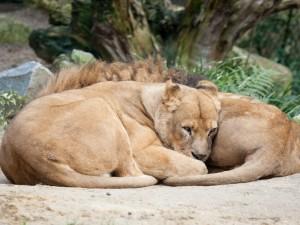 Unos leones descansando