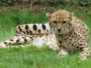 Guepardo tumbado en la hierba