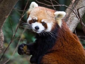 Panda rojo entre unas ramas