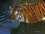 Tigre dentro del agua