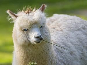 Alpaca con una brizna de hierba en la boca