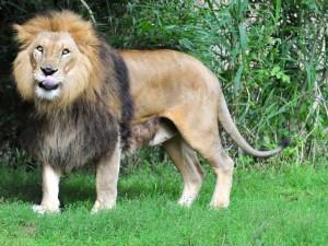 León sacando la lengua