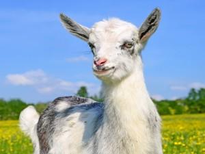 Una atenta cabra en el campo