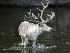 Ciervo caminando en el agua