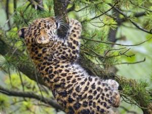 Un joven leopardo tratando de trepar por las ramas de un pino