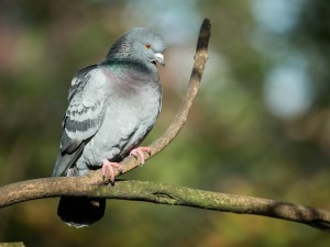 Paloma gris sobre una rama