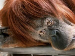 Un orangután mirándote