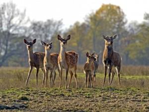 Manada de ciervos fuera del bosque