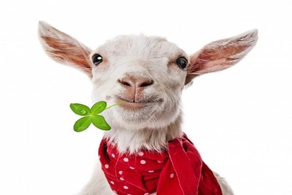 Una cabra con bufanda y un trébol en la boca