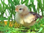 Un tierno pollito entre la hierba verde