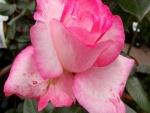 Una bella rosa con un bonito color