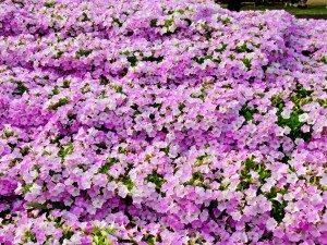Varias petunias rosas en un jardín