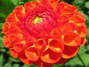 Esplendorosa dalia de color naranja