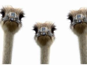 Tres avestruz mirando con curiosidad a la cámara