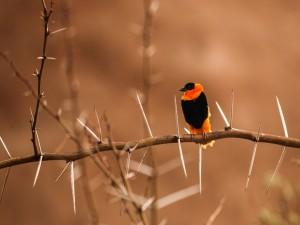 Pájaro naranja y negro posado en una rama con espinas