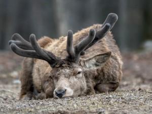 Un ciervo soñoliento