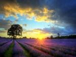 El sol del amanecer iluminando un campo de lavanda