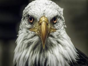 La mirada de un águila