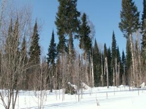 Árboles sobre un manto de nieve