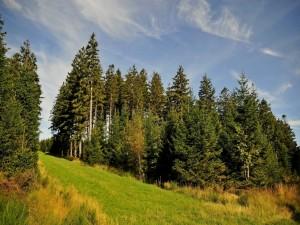 Pinos en un verde valle