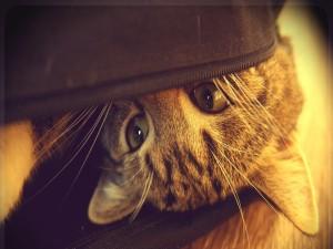 Un gato escondido