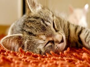 Gato dormido sobre una alfombra