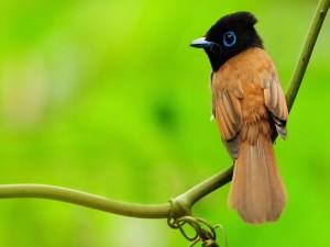 Pajarillo de cabeza negra sobre una rama