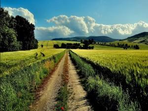 Camino entre campos de trigo
