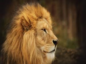 Perfil de un gran león