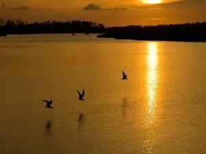 Aves volando sobre la superficie del agua