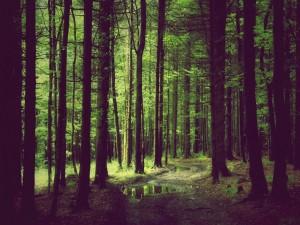 Charcos en el bosque
