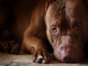 La mirada triste de un pit bull terrier americano