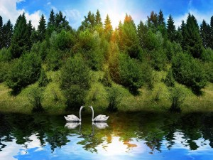 Dos cisnes en el lago