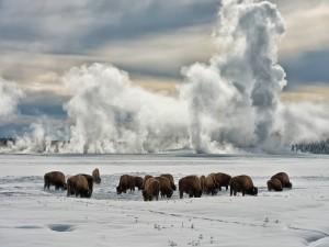 Búfalos pastando en una pradera cubierta de nieve (Parque Nacional de Yellowstone)