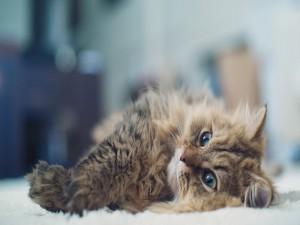 Un hermoso gato tumbado
