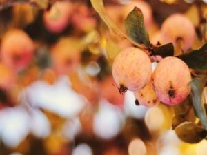 Manzanas madurando en el árbol