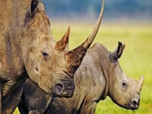 Dos grandes rinocerontes