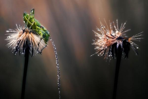 Saltamontes cubierto de agua sobre un diente de león
