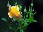 Una rosa amarilla entre pimpollos