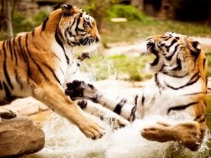 Dos tigres luchando